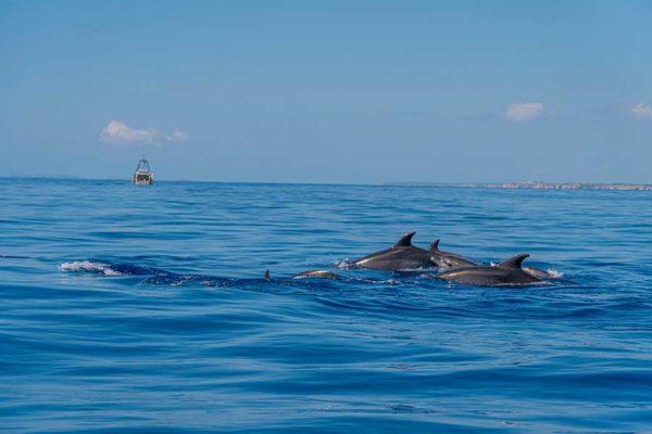 Delfines Starfish